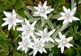 20 Edelweiss Flower Seeds