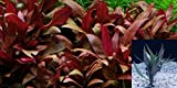 6 Stems Alternanthera reineckii 'Mini' by Aquarium Plants Galore