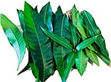 Fresh Mango Leaves For Tea Organic All Natural, No Pesticide, No Chemical from South Florida Qty 25