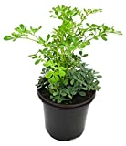 Common Rue Herb of Grace (Ruta Graveolens) Ruda 1 LIVE PLANT