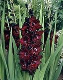 Van Zyverden Gladiolus - Large Flowering Black Beauty - Set of 12 Bulbs, Blackish