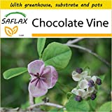 SAFLAX - Potting Set - Chocolate Vine - 10 Seeds - Akebia quinata