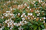 (3 gallon) INDIAN HAWTHORN-a EVERGREEN compact, mounded shrub with large, dark green, highly disease-resistant foliage