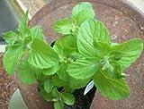 "Apple Mint - Herb Plant - Very Fragrant - Mentha - 3.5"" Pot"