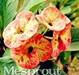 New Euphorbia Milii Hybrid Mix Middle 100+ seed - 8