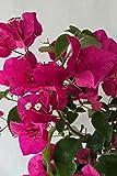 Barbara Karst Red, Bougainvillea Plant (Flowers, Hanging Basket, Bush, Trellis, Patio Tree, Vine), 2 Gallon (Trellis)