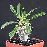 """Pachypodium lamerei rare madagascar palm plant cactus cacti caudex bonsai 2"""" pot"""