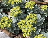 New Myrtle Spurge Euphorbia myrsinites Seeds, attractive low growing succulent 100+ Seeds