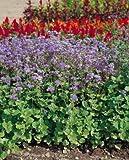 Ageratum Blue Horizon PL 1,000 seeds