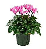 KaBloom Live Plant Collection: 12'' Pink Cyclamen Plant in a 4.5'' Green Covered Pot