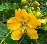 30 SENNA / ALEXANDRIAN CASSIA Angustifolia True Indian Yellow Flower Seeds