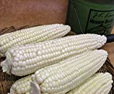 CORN, STOWELL'S EVERGREEN WHITE CORN, HEIRLOOM, ORGANIC 20 SEEDS, DELICIOUS WHITE SWEET CORN