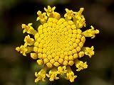 30+ FRAGRANT COTTON LAVENDER /SANTOLINA / PERENNIAL FLOWER SEEDS
