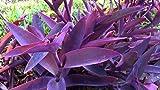3 Rooted Plants of Tradescantia Pallida Purple Heart Plant Wandering Jew