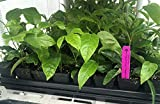 "Passion Fruit Vine - Purple Passiflora Edulis LIVE PLANT - 3-8"" tall"