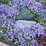 Outsidepride Bellflower Campanula Carpatica Blue Plant Seed - 5000 Seeds