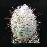 Oreocereus trollii Old Man Cactus Cacti Succulent Real Live Plant