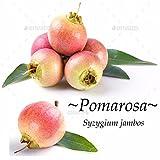 ~POMA ROSA~ SACRED FRUIT TREE Syzygium Jambos ROSE APPLE Live small Potd Plant