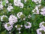 150 Creeping WINTER SAVORY Satureja Montana Herb Flower Seeds