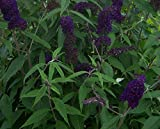 "Butterfly Bush - Buddleja davidii 'Black Knight' - Healthy Plant/Bush - 2.5"" Potted - 3 Pack By Growers Solution"