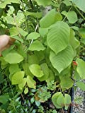 Cherimoya annona or Custard Apple Seedling inches Tall Planted in Pot
