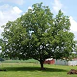 Elliot Pecan Tree - 3-4 ft.