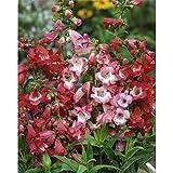 Beautiful Garden Vigorous 200 PENSTEMON HETEROPHYLLUS BLUE SPRING FLOWER SEEDS / PERENNIAL New 1