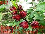 Roselle -Jamaica Sorrel -Hibiscus Sabdariffa 50 seeds, Variety Herb Seeds Garden Aromatic Spices Plant Vegetable Medicinal Heirloom