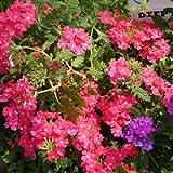 Verbena Rose Ground Cover Seeds (Verbena Hybrids Nana Compacta) 50+Seeds