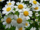 H027X01. 1 Plant of Feverfew Medical Herb - Tanacetum parthenium