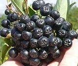Black Chokeberry - Aronia Melanocarpa nero - 35+ seeds - Edible fruits - Berry