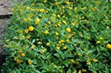(12 Plants Classic Pint) Lantana x New Gold Lantana has a Dramatic mounding Habit and an Impressive Display of Golden Yellow Blooms from Late Spring Thru Fall.