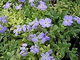 50 Seeds Aubrieta Light Blue Rock Cress (PERENNIAL)