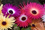 iceplant ICE PLANT mesembryanthemum LIVINGSTONE DAISY FLOWER 1430 seeds! groco