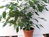 Jmbamboo- 6'' pot Weeping Fig Tree - Ficus Benjamina - Easy to Grow