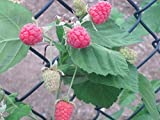 Thornless Loganberry Seeds - 20 Seeds