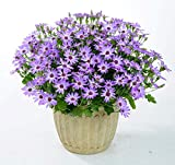 AGROBITS 100 PCS Pericallis Hybrida Aster Flower Bonsai Flower Plant Rainbow Chrysanthemum Bonsai Perennial Flowers Home Garden Plant: 5