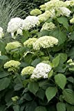 "Hydrangea Arborescens Annabelle - 4 Inch Starter Plant, this is an ""End of the"