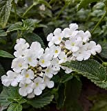 "Two Trailing White Lantanas - Lantana montevidensis Alba - Plants in 2.5"" pots"