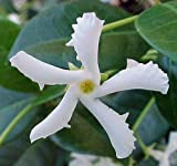 "Confederate Star Jasmine Plant - 6"" Pot/Trellis - Extremely Fragrant Vine"