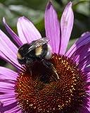 Van Zyverden Bumble Bee Pollinator Coneflowers Roots (Set of 5), Purple