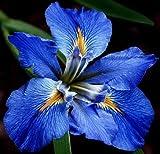 (2) Spectacular Flowering Bayou Blue Sinfonietta Louisiana Iris Rhizomes/Root/Plant