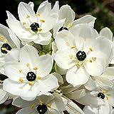 10 Bulbs of Ornithogalum Arabicum (Arabian Starflower)