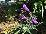P124S. Penstemon Heterophyllus Margarita BOP - 30 Seeds
