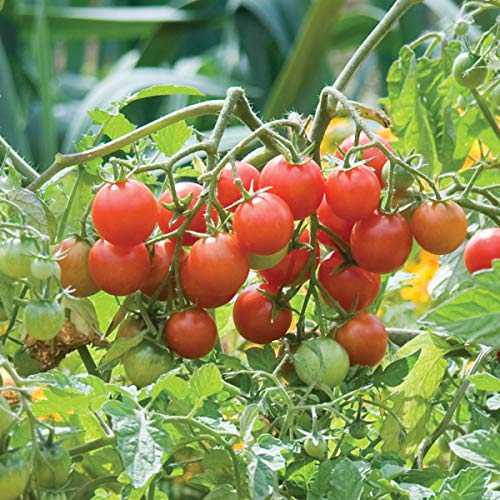 Burpee 'Sweetheart of the Patio' | Red Cherry Tomato | 10 Seeds