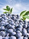 300+ Blueberry Seeds! Highbush Mix Super Sweet and Huge Perennial Fruit!