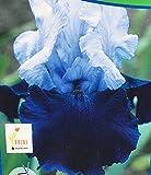One Tall Bearded German Iris Rhizome/Bulb ~ OVER ALASKA ~ White/Marine Blooms