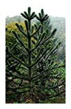Araucaria araucana - monkey puzzle - monkey tail tree - 3 seeds
