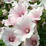 Kings Seeds - Lavatera Dwarf Pink Blush - 100 Seeds