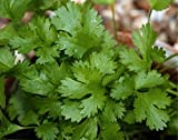 Highly Aromatic Coriander (Coriandrum sativum L.) Herbal Plant Seeds, Culinary Herb Heirloom